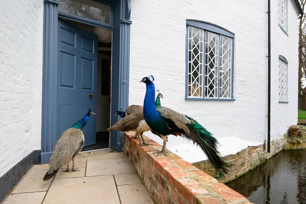 Peacocks_DSC9445